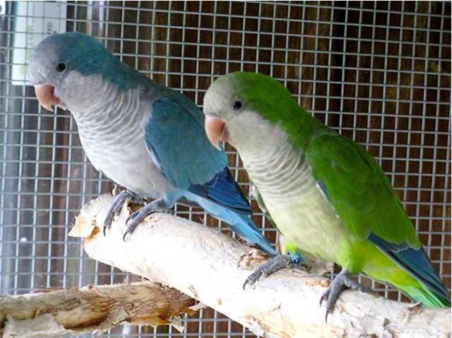 blue and green quaker parrots
